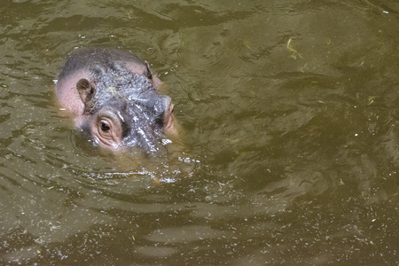Hippo head on the water surface. Banco de Imagens