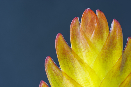 Bromelia - Yellow flower with pink hem.