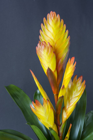 Bromelia - Yellow flower with pink hem and green leaves.
