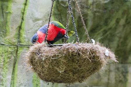 Black-capped Lory sitting at the nest.
