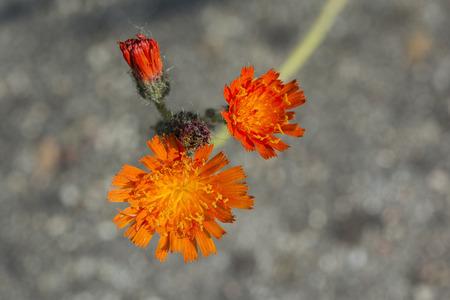hieracium: Hieracium - Orange hawk flowers.