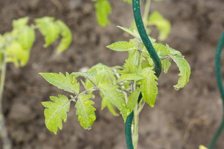 Natte tomatenbladeren op gedraaide polen. Stockfoto