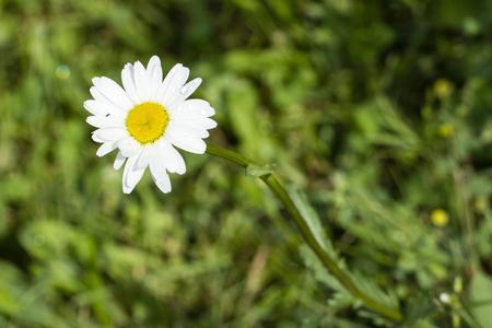 Flower of daisies. Stock fotó