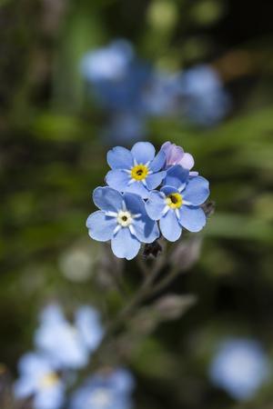 Myosotis - Blue Flowers of Forgetfulness.