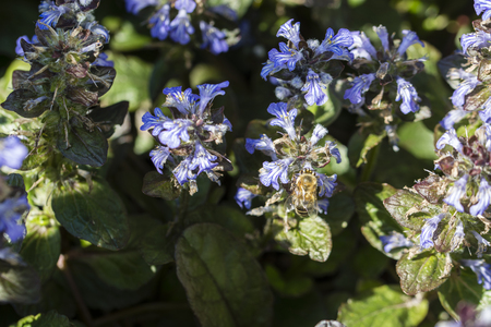 Bee pollinating dew with blue flowers.