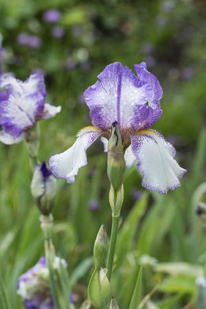 Purple hem iris flowers and dew drops.