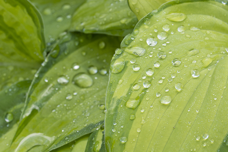 Dew drops on ornamental plant leaves in the garden. Stock Photo