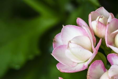 Kalanchoe - pink flowers.