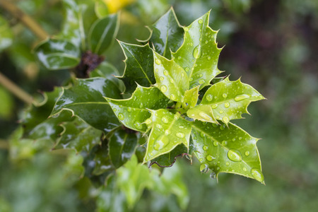 Holly leaves and water drops.