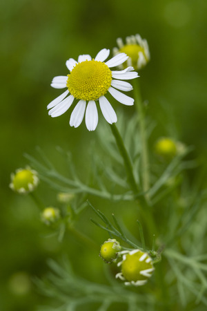 Flowering chamomile on a plant. Stock Photo
