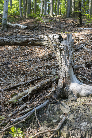 Cracked trunk of dried tree in forest.