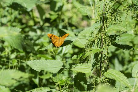 Argynnis paphia - Butterfly silver pearl butterfly.