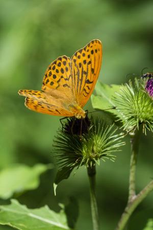 Argynnis paphia - Butterfly silver pearl butterfly. Reklamní fotografie - 85580577