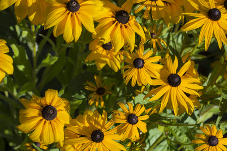 Yellow arnica flower with black center. Standard-Bild