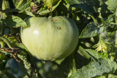 Green immature tomato on a plant.
