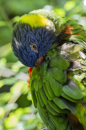 Rainbow Lorikeet cleaning your feathers.