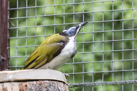 Blue-faced Honeyeater bird in aviary.