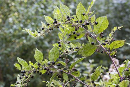 belladonna: Belladonna ripe fruit on the plant. Stock Photo