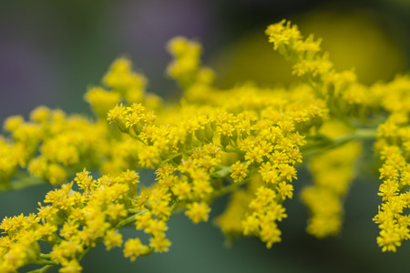 Solidago canadensis - yellow flowers of meadow plants.