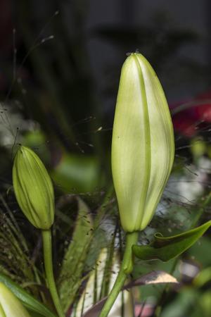Green lily bud. Banco de Imagens