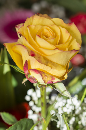 Yellow rose in a bouquet.