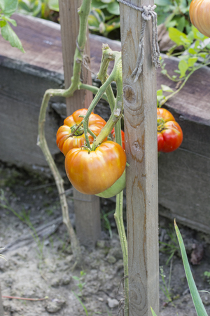 Growing large fruits of a tomato apple on a wooden pin. Standard-Bild