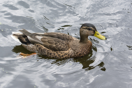 Duck floating on the water surface. Imagens - 91345468
