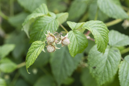 Immature fruit of raspberries with green leaves.