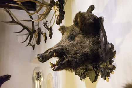 Wild boar trophy on the wall. 版權商用圖片