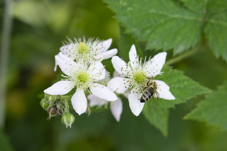 Flower of blackberries and pollinating bees.