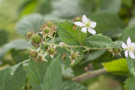 Flower of blackberries and immature fruits.