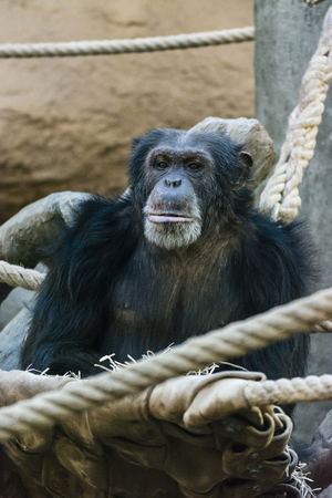 Sitting adult chimpanzee in the zoo.