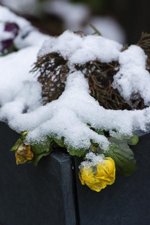 Pansies gialli del fiore coperti di neve. Archivio Fotografico - 93765190