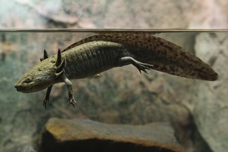 水族館でアクソロトルメキシコの自然の着色。