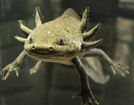 Axolotl Mexican natural coloring in an aquarium.