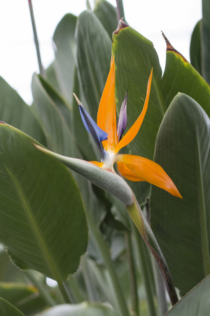 An exotic orange flower with a special shape. Banco de Imagens - 95156635