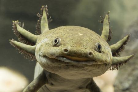 Axolotl Mexican detail on head.