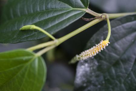 Flower of pepper with green leaves. Banco de Imagens