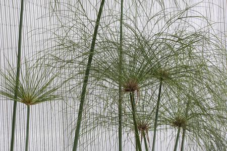 Upper part of plant papyrus.