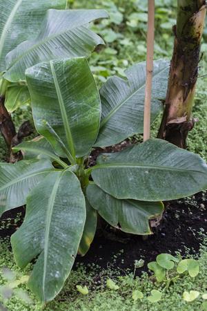 Green banana leaves.