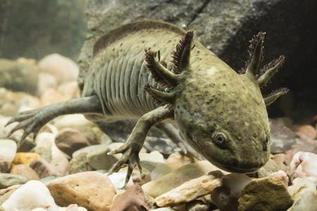 Axolotl Mexican in aquarium. Stock Photo - 98487913