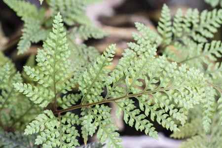 Green leaves of a fern.
