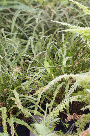 Green leaves of a fern. Imagens - 96729983