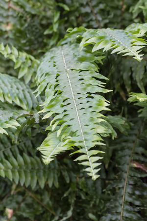 Green leaves of a fern. Banco de Imagens - 96527152