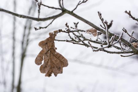 Frost on dry oak leaves. Imagens