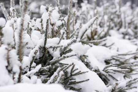 Snow on a spruce branch. Banco de Imagens