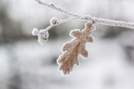 Frost on the oak leaf with the acorn on the branch. Stock Photo