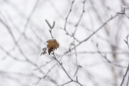 Frost on the birch on the branch. Banco de Imagens