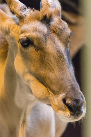Antelope head in captivity.