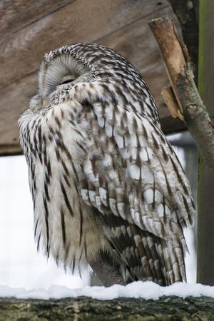 Ural owl sneaking.
